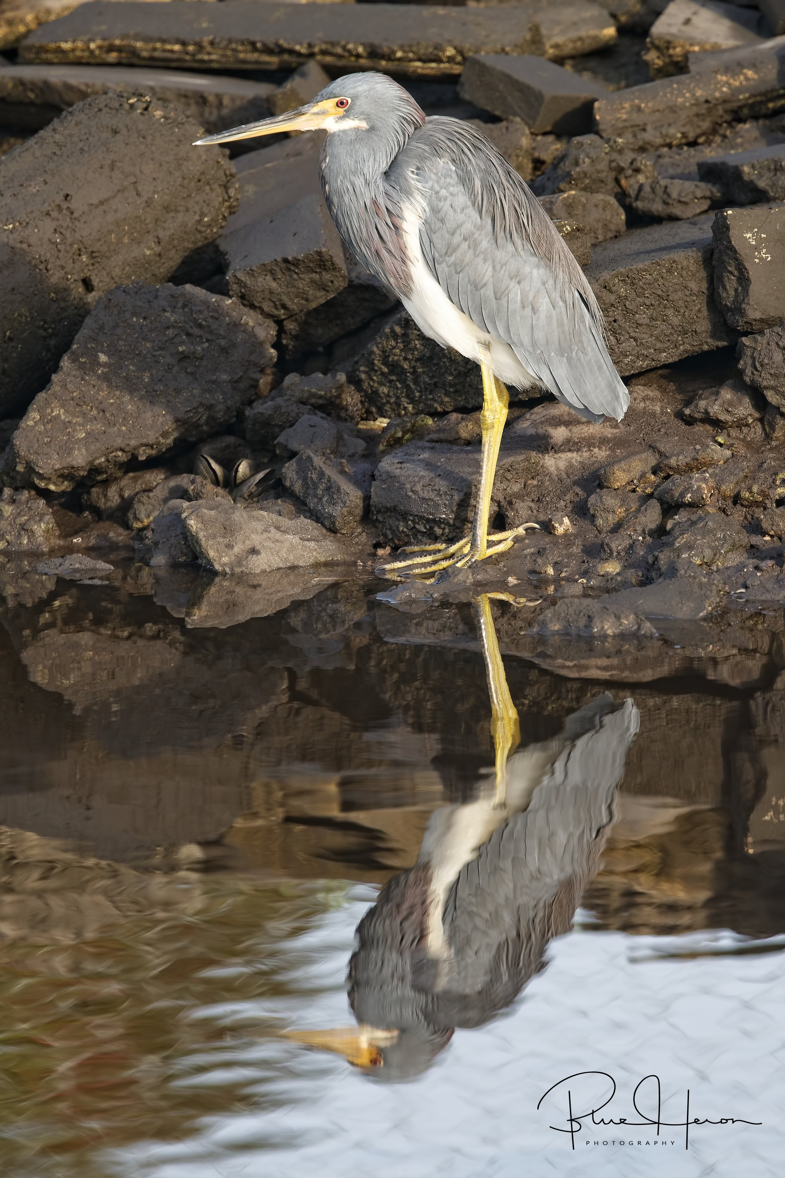 Tricolored Heron reflects on the day…one I won't soon forget