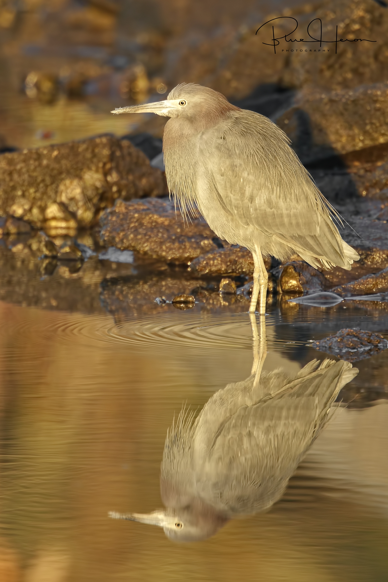 Little Blue Heron reflects in the golden light of dawn..Birds came on the Fifth Day..ahead of man