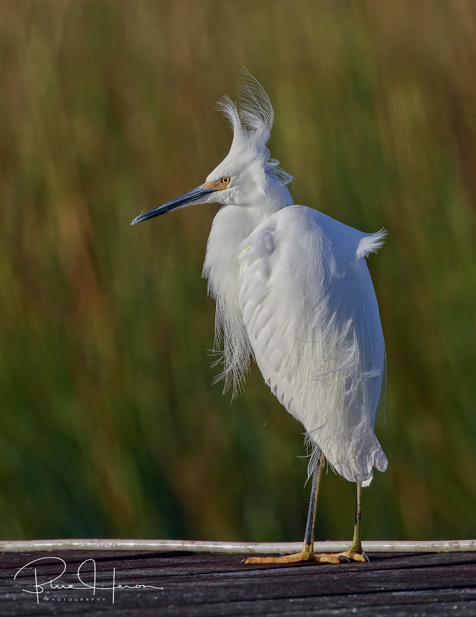 Snowy Egret with the wind blown hair feather look!