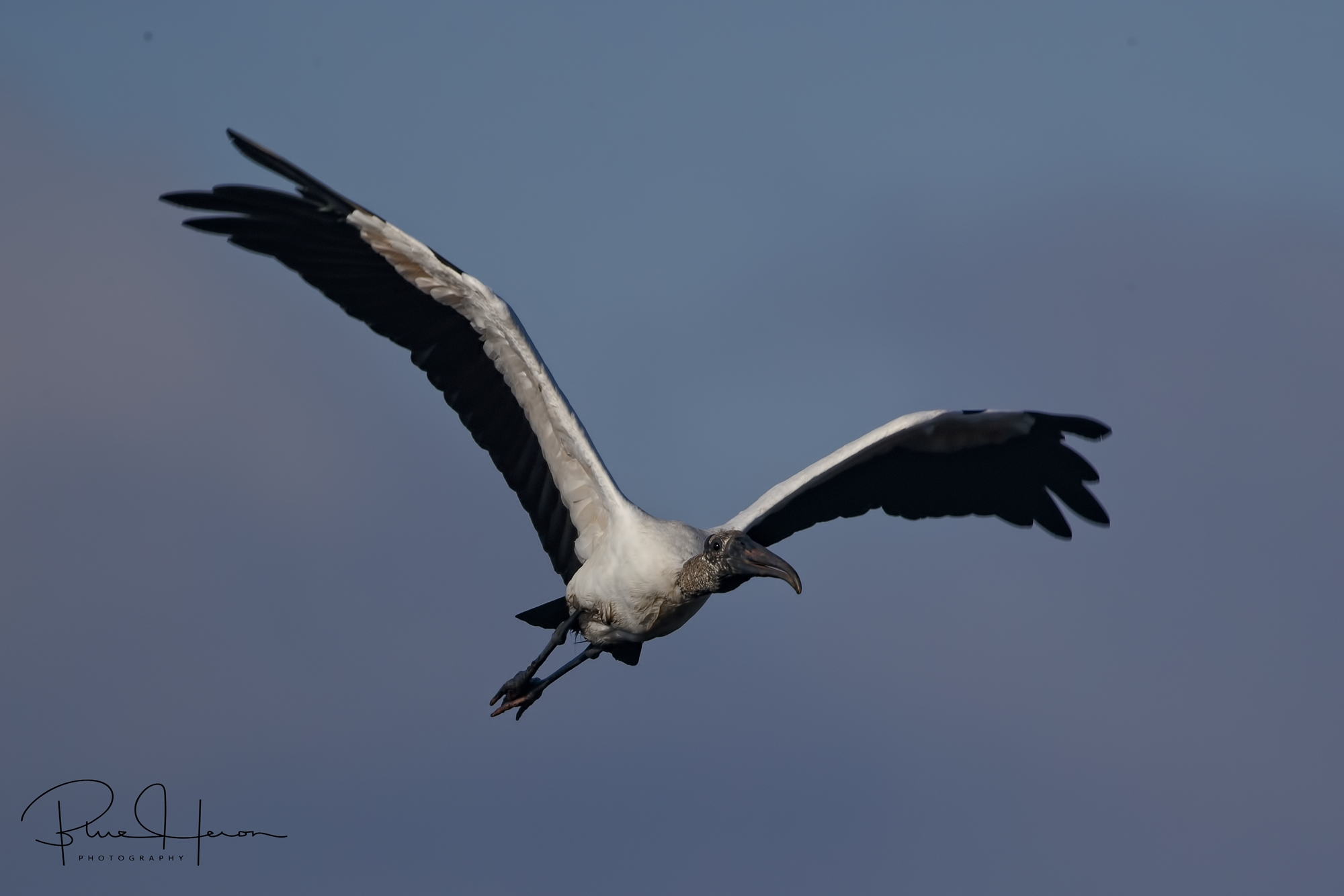 Wood Stork fly by in the morning light…they may be ugly but they are graceful in flight. A fifth day creation.