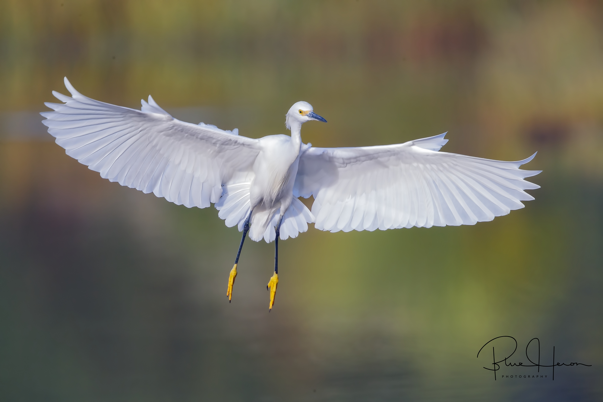 "Florida ""Snowfall"". A Snowy Egret floats down to the dock…"