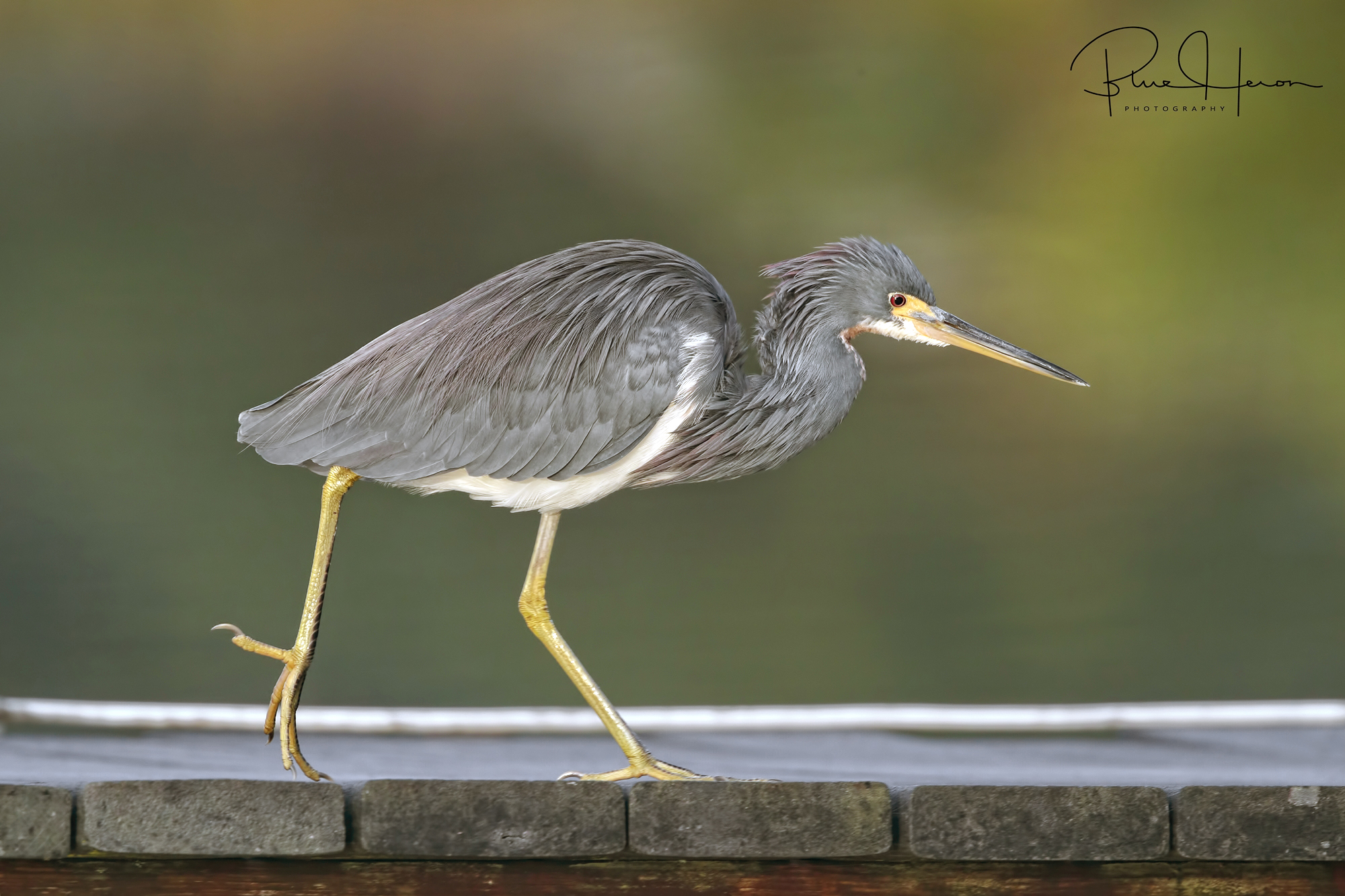 Tricolored Heron racing down the dock to get morning minnows…