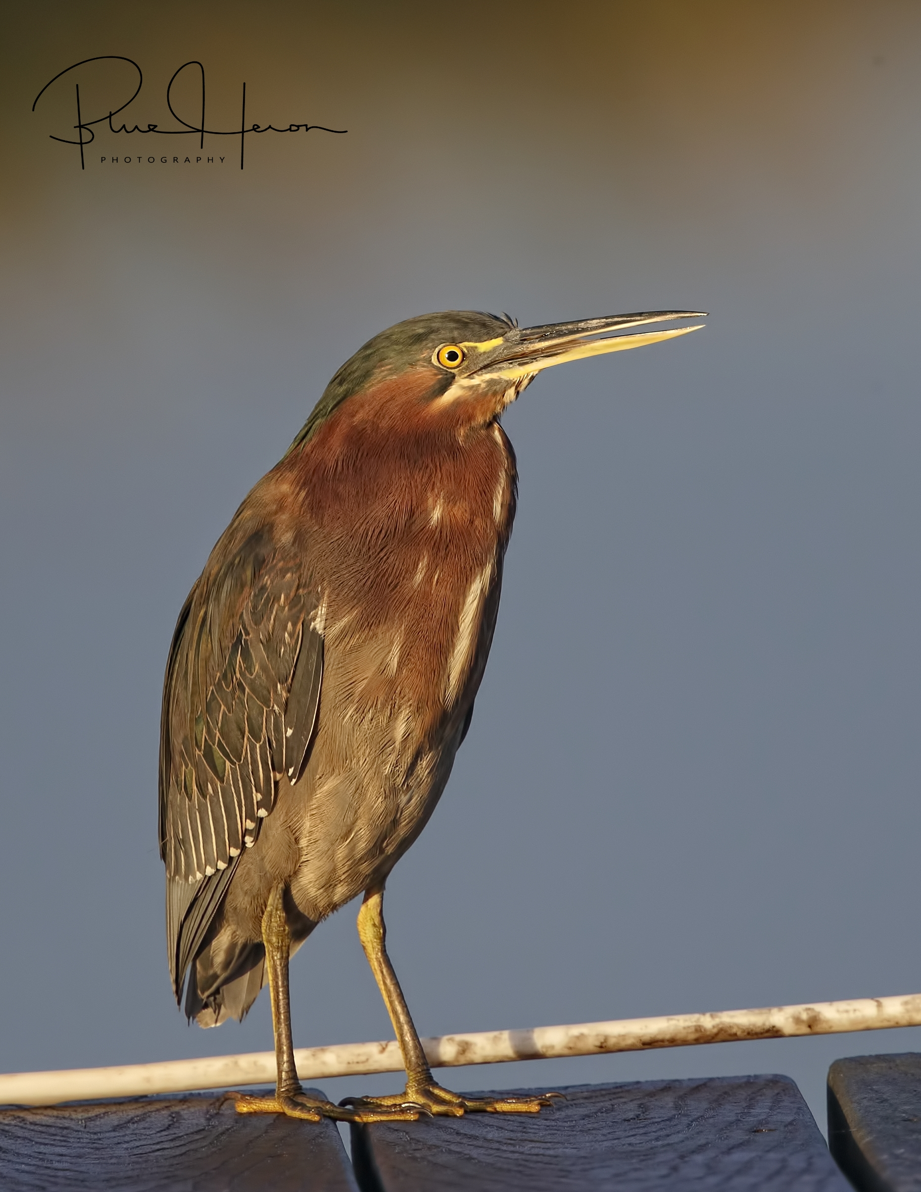 A Little Green Heron lands on the dock and is perturbed by the noise of the woodpecker