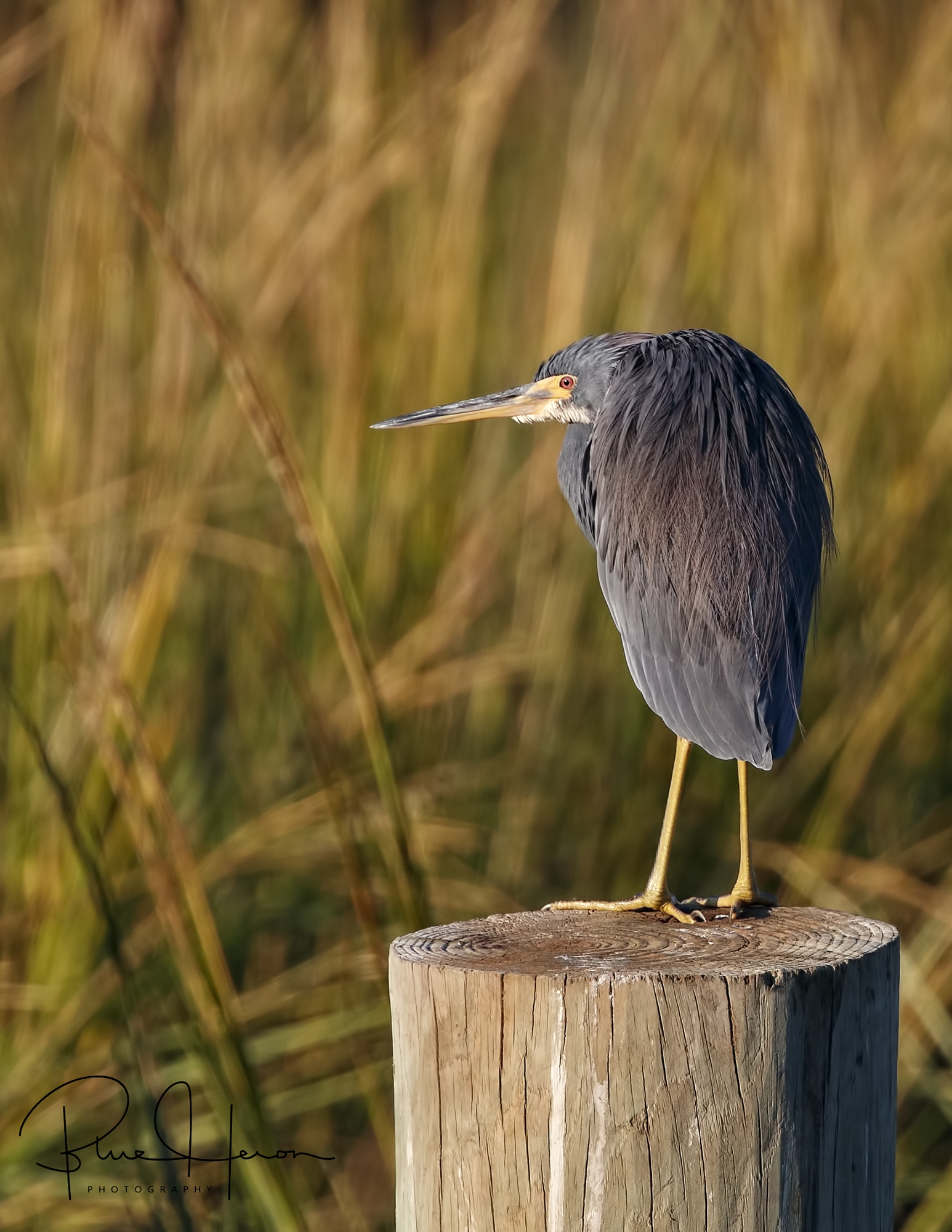 Mr Grumpy,,,,Tricolored Heron on his piling..