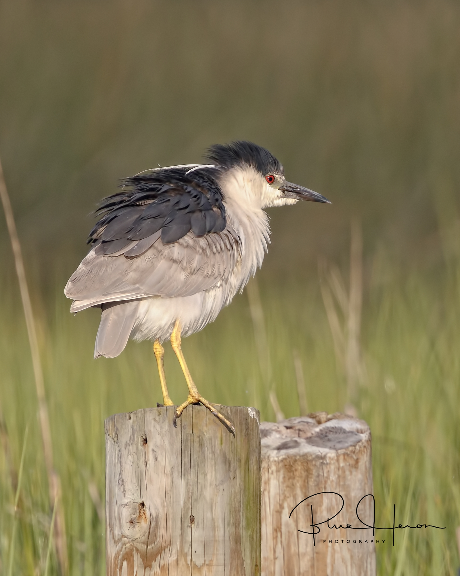 Adult Black-crowned Night Heron in a bit of a fluff..