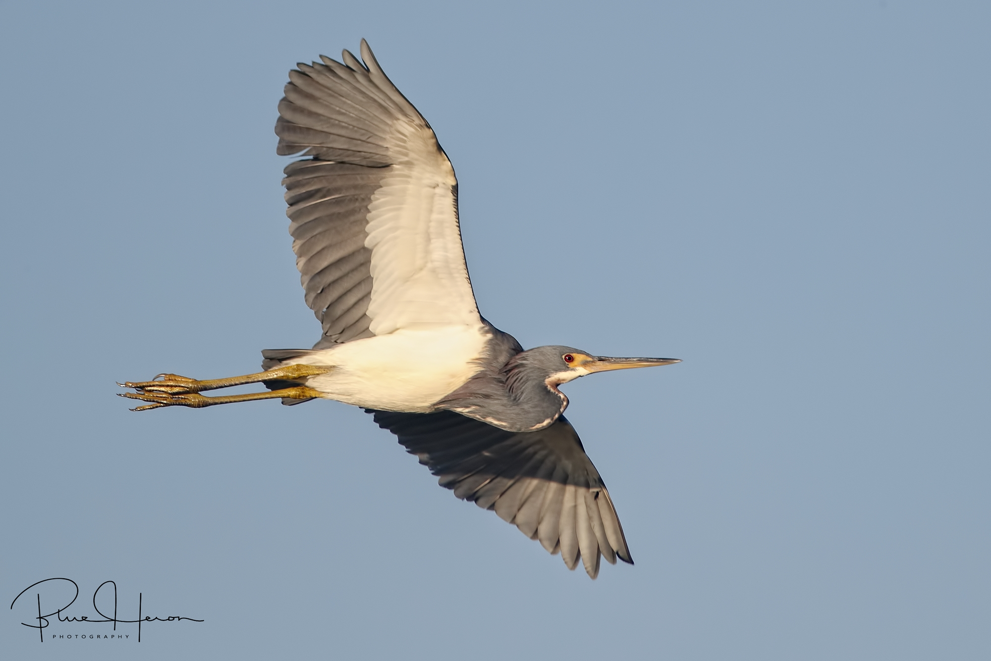 Tricolored Heron wings by heading for the dock