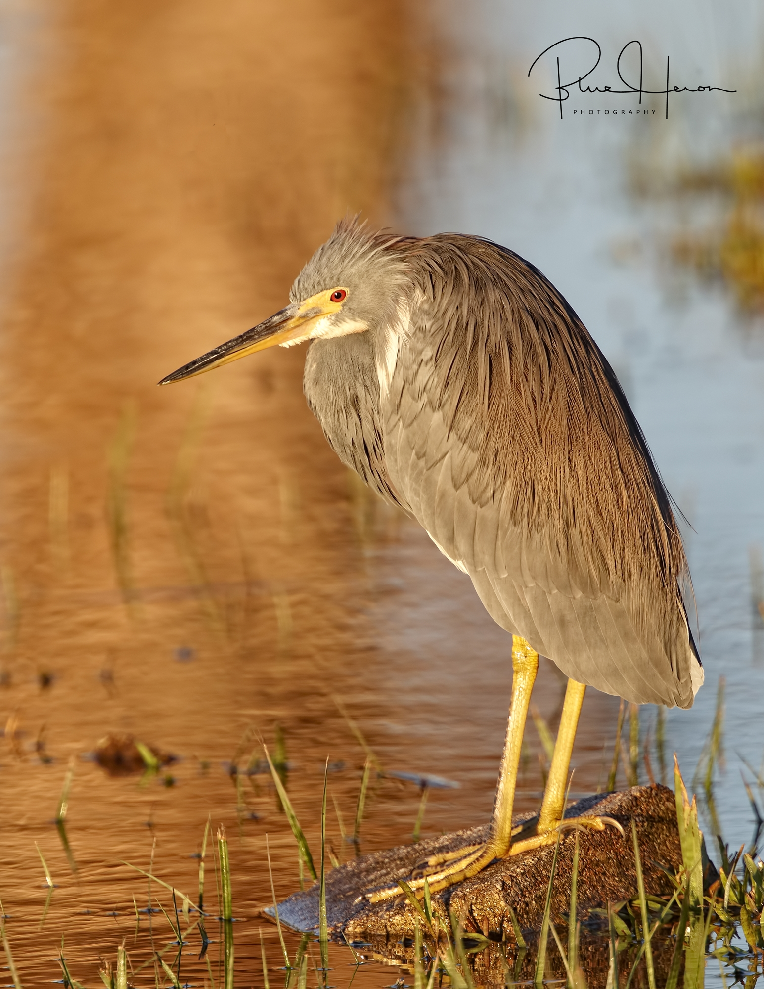 Golden glow on the Tricolored Heron..
