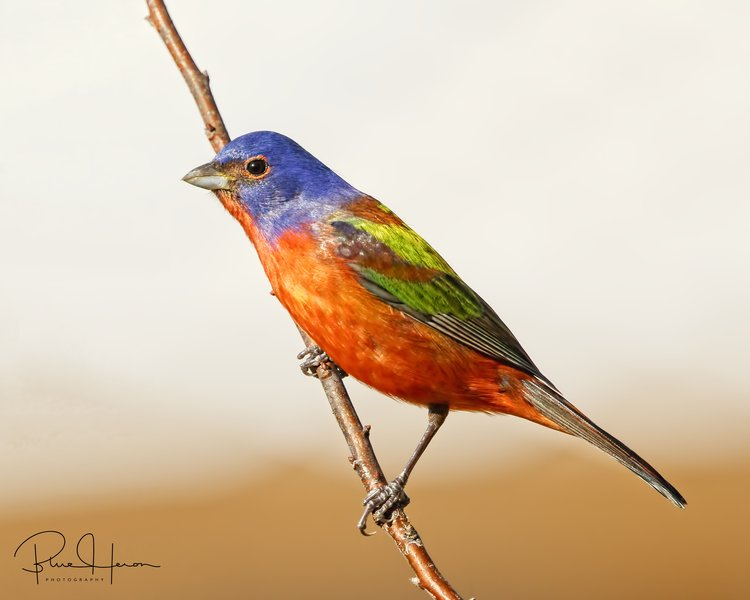 My first capture of a Painted Bunting on the Broward