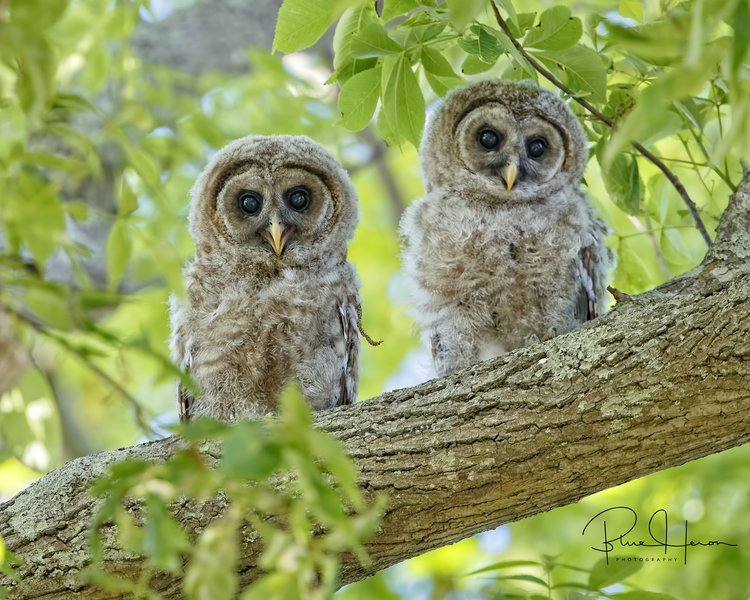This pair of Barred Owlets made my annual Christmas card cover..