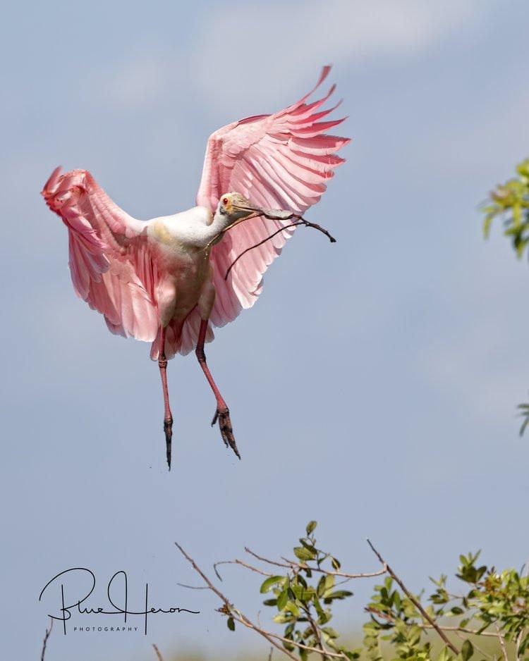 Roseate Spoonbill bringing in nesting materials..