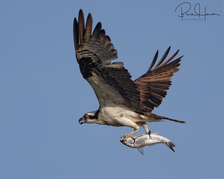 Fresh fish is what is for dinner for the Osprey family today
