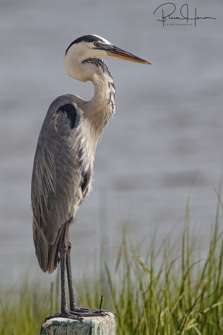 Great Blue Heron relaxing at the beach