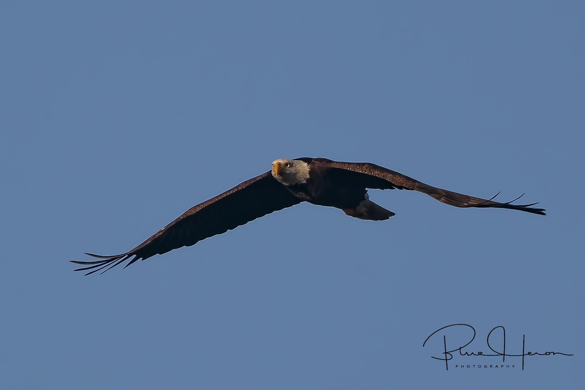 I see you Mr. Doohickey!, An adult Great Bald Eagle flies up the Broward. I have been spotted..