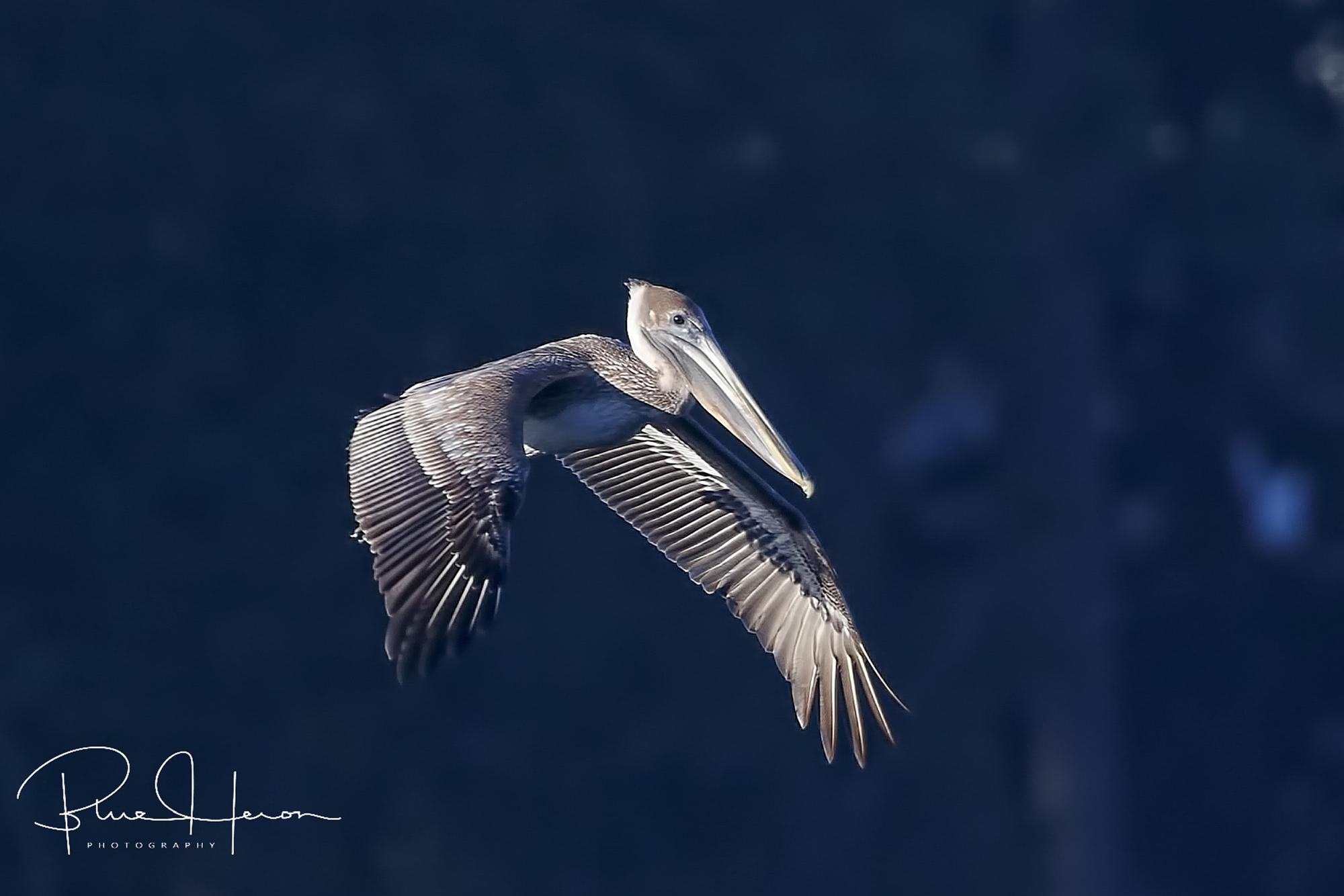 Look, I am an Eagle too!…just kidding…I am a Pelican