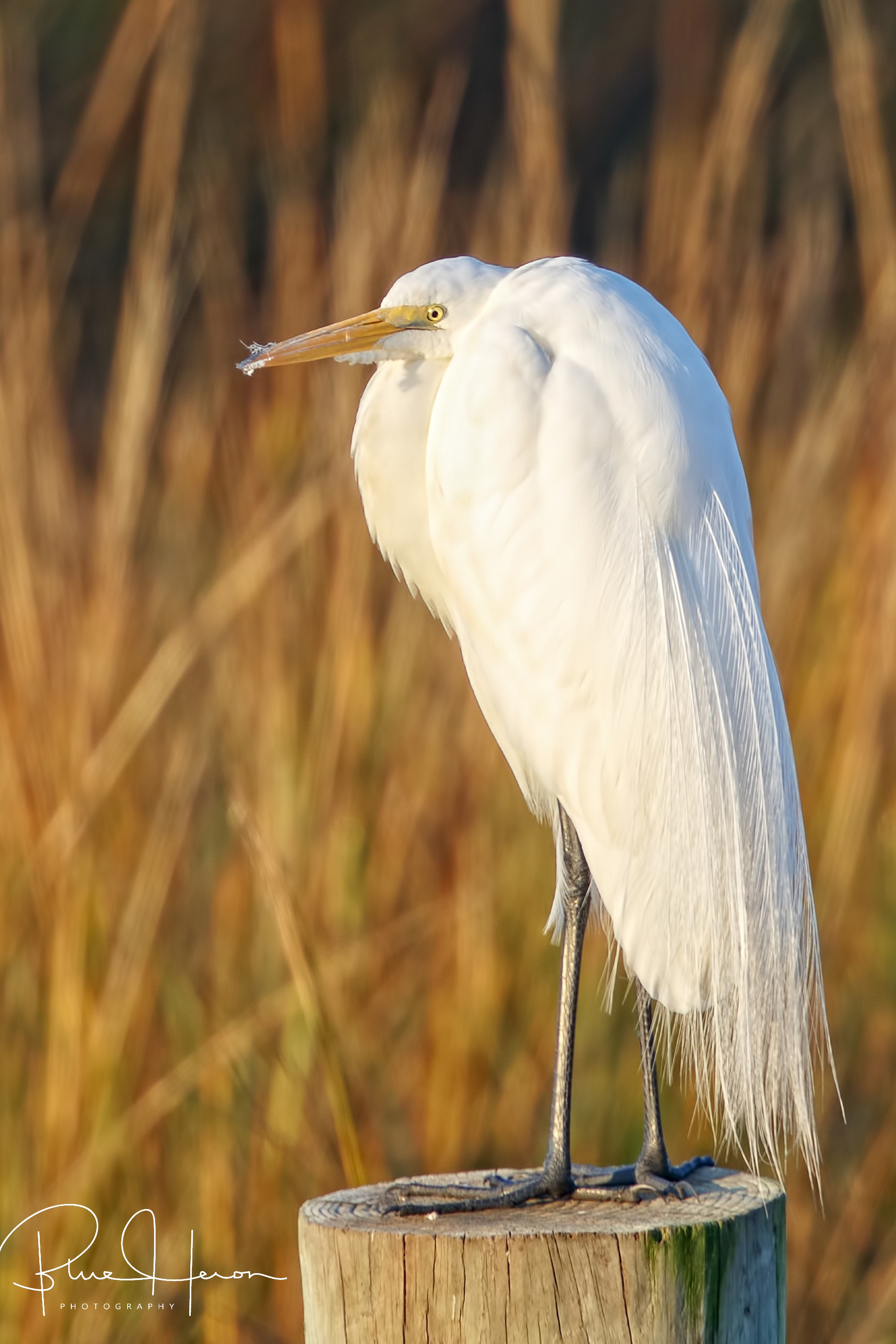 The Great White Egrets are starting to show breeding plumes. Spring is in the air.