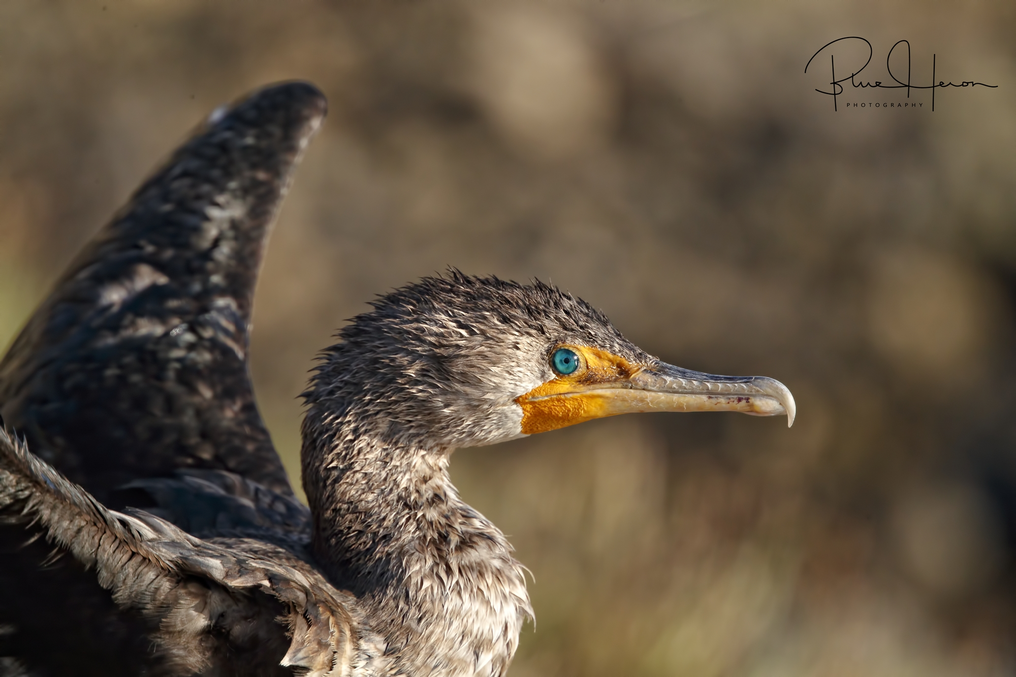 Cormorant profile..love those blue green eyes!