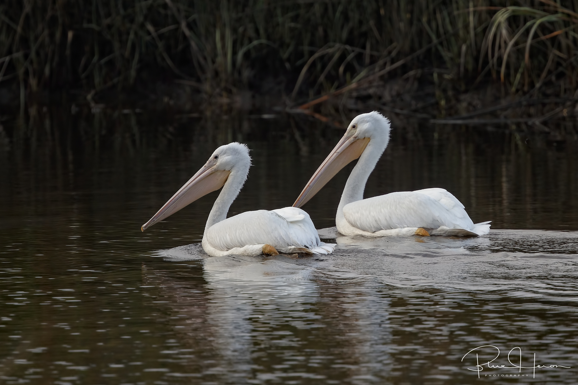 White Pelicans glide by…spring is nigh!