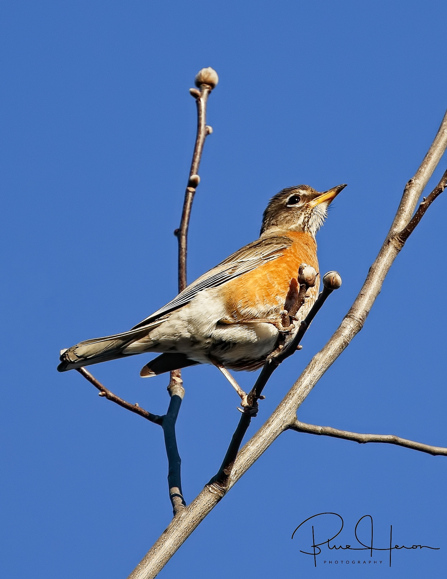 Robins heading north are a sure sign of spring