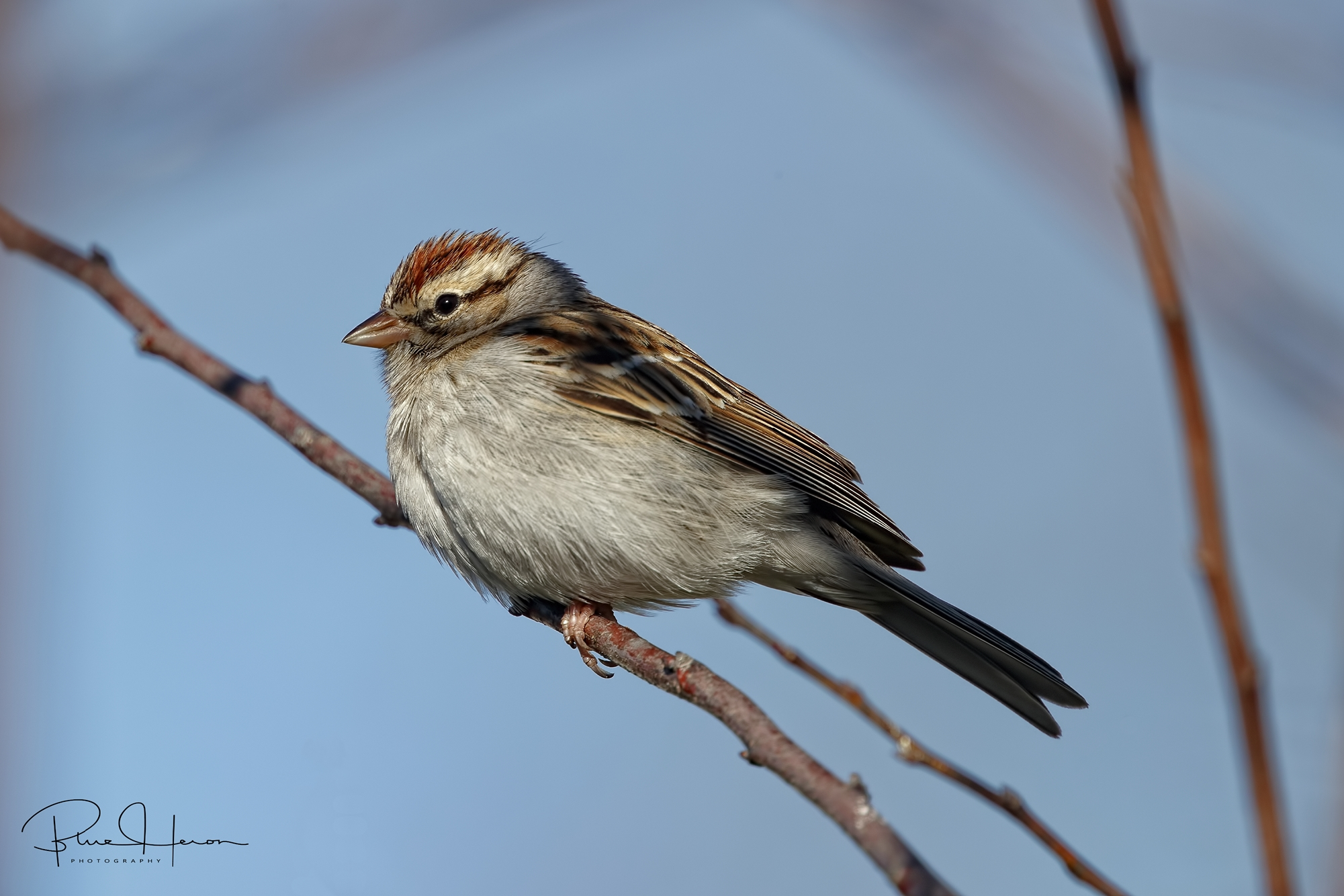 Chipping Sparrow on a cool morning