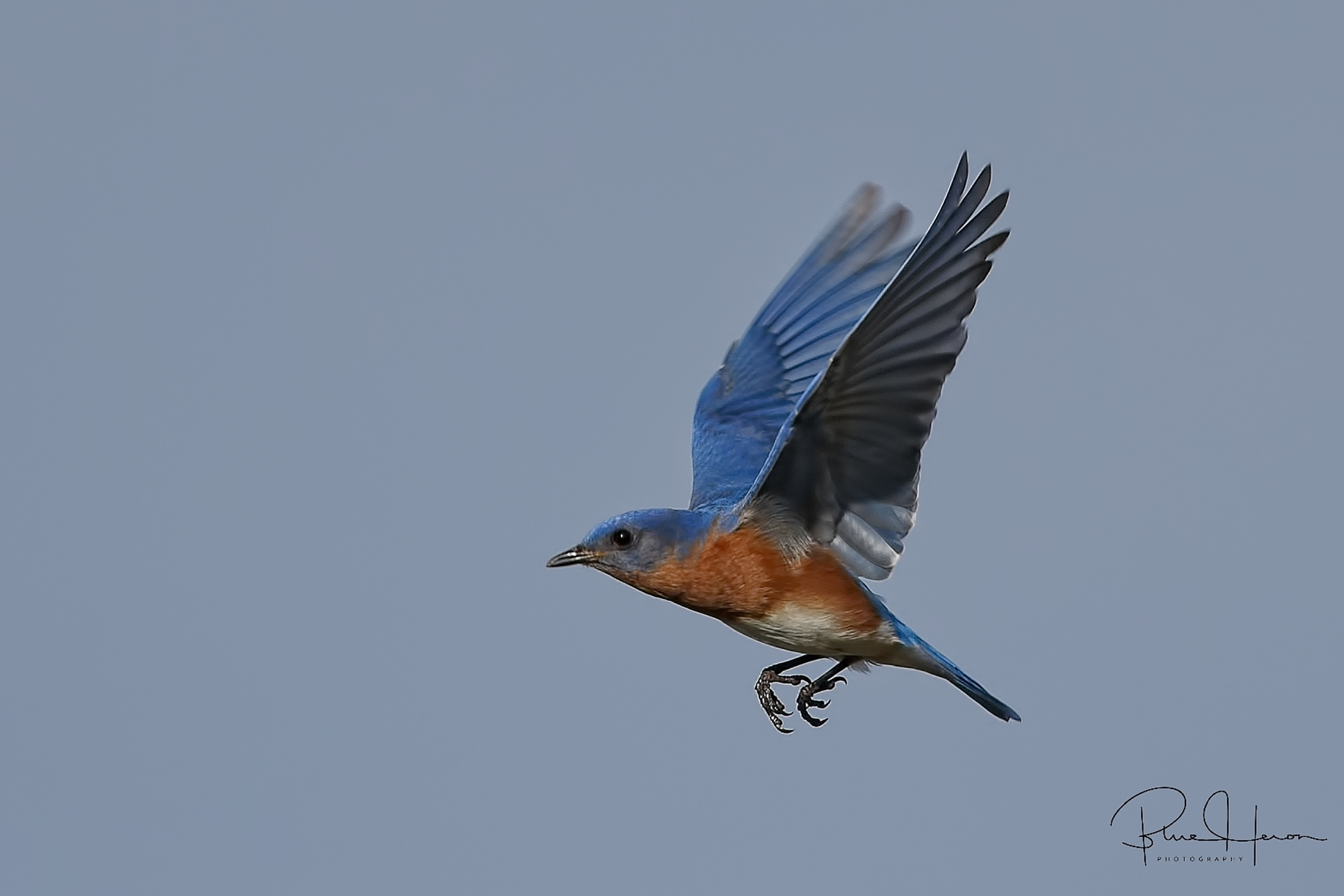 Daddy Bluebird wings by too!