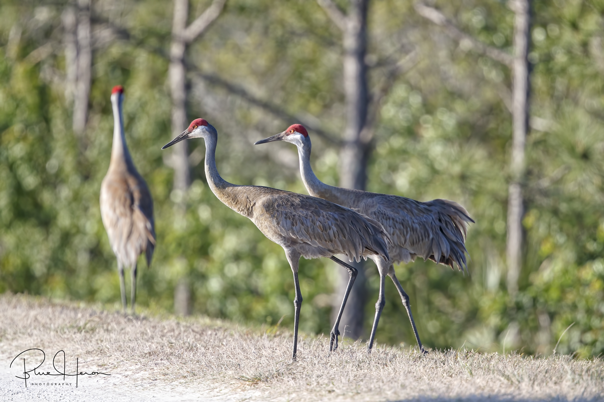 Sandhill Cranes are one of the Editor's favorite birds..