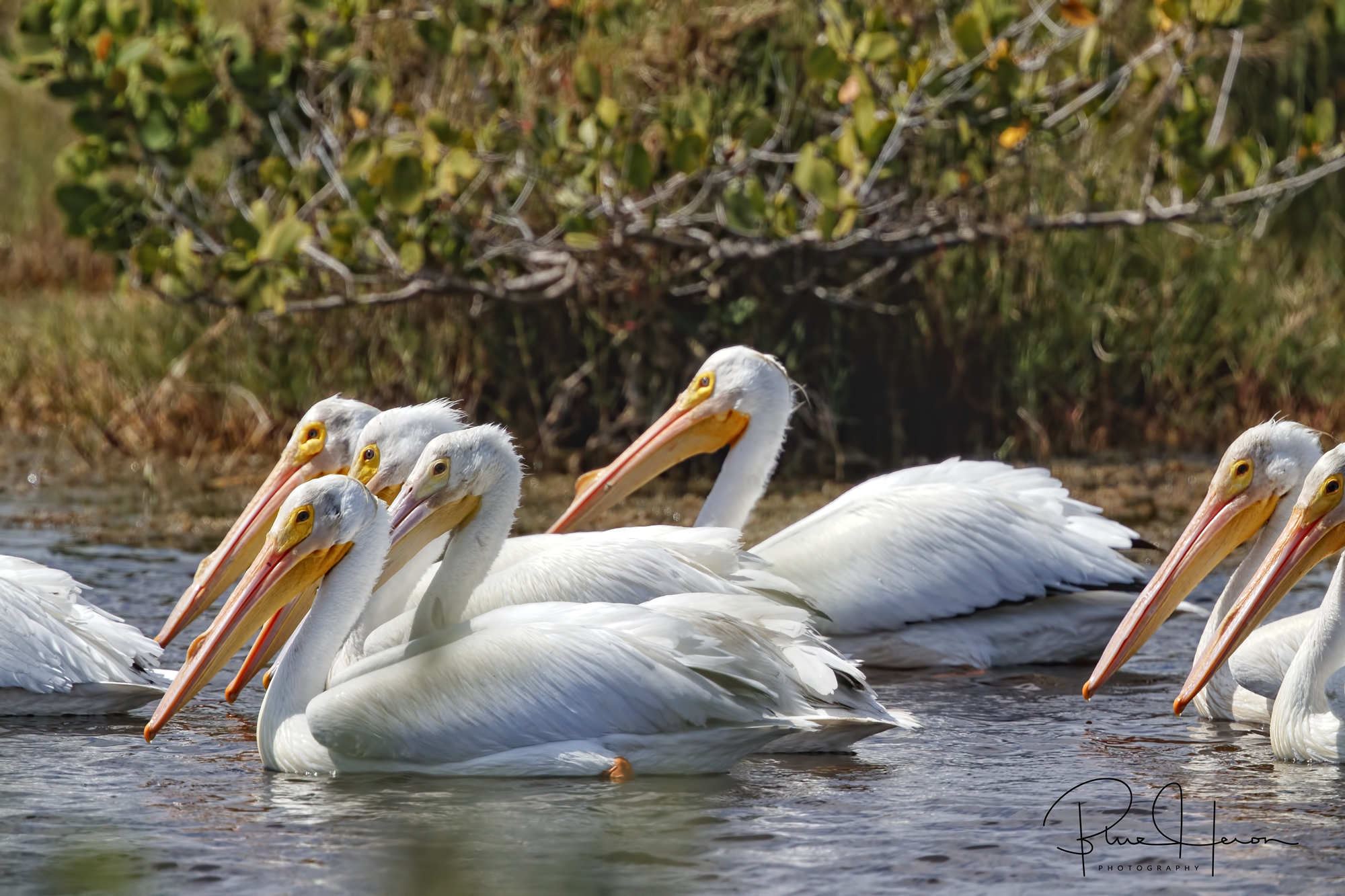 A Pod of White Pelicans cruising by
