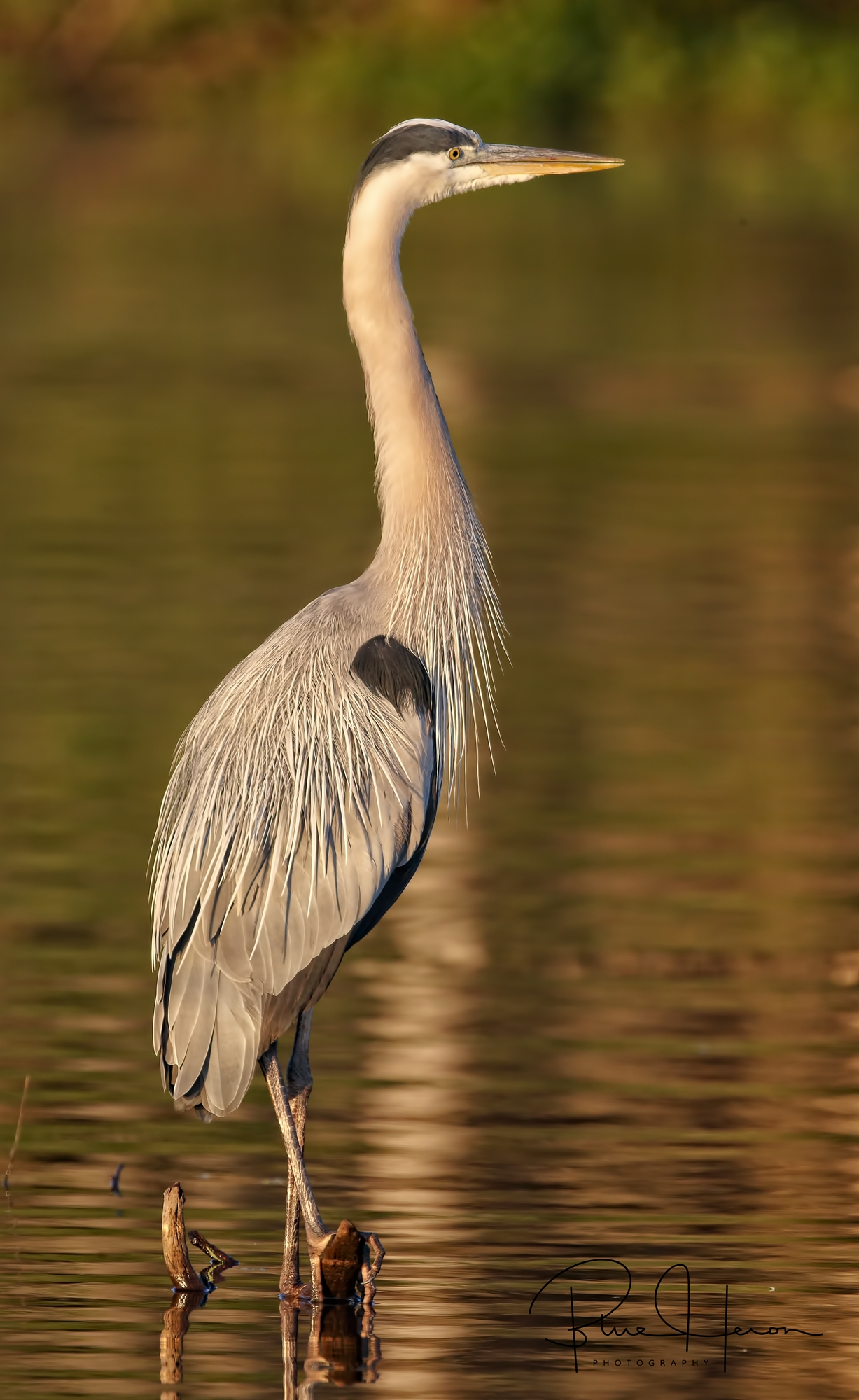 Great Blue Heron in the early golden light