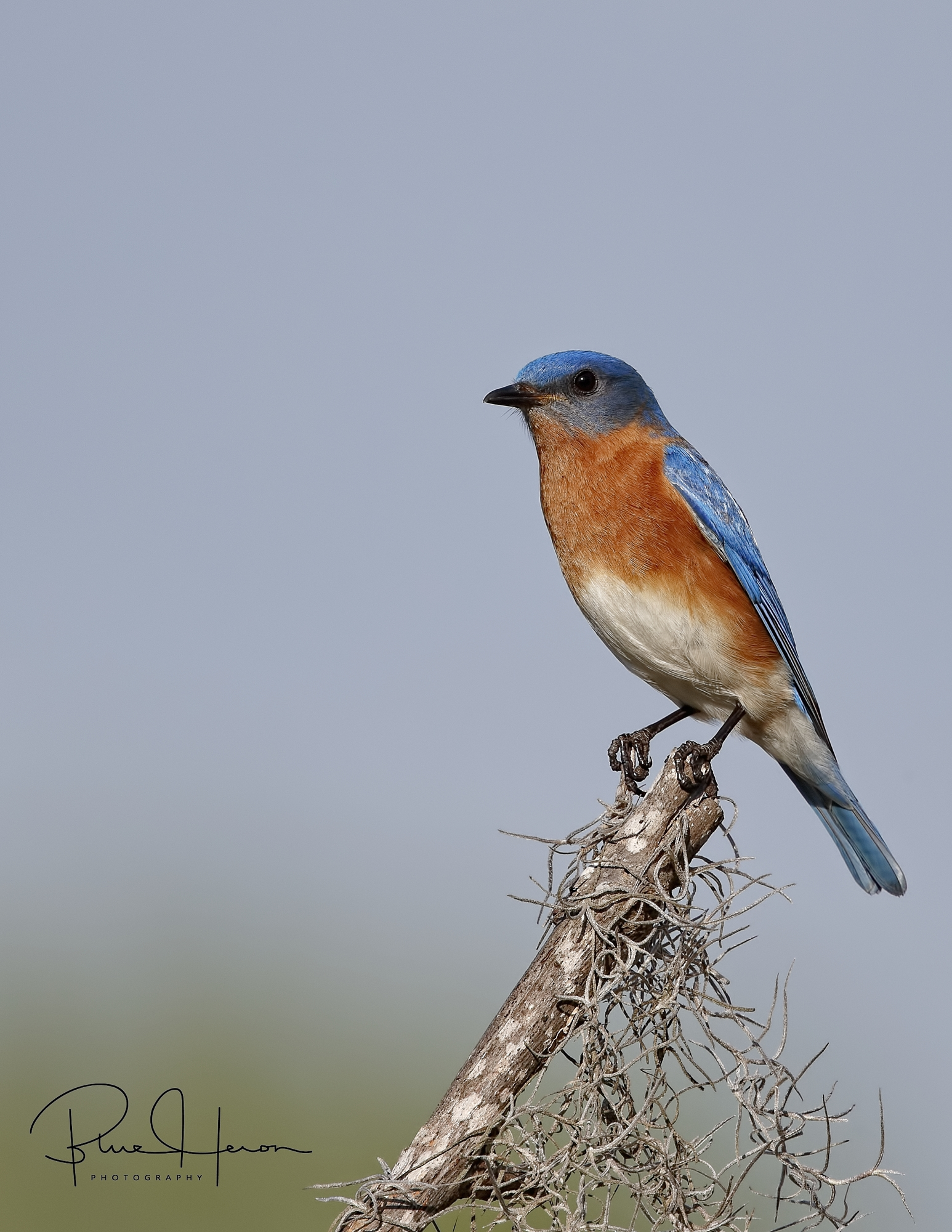 The Bluebird male is the more colorful of the pair.