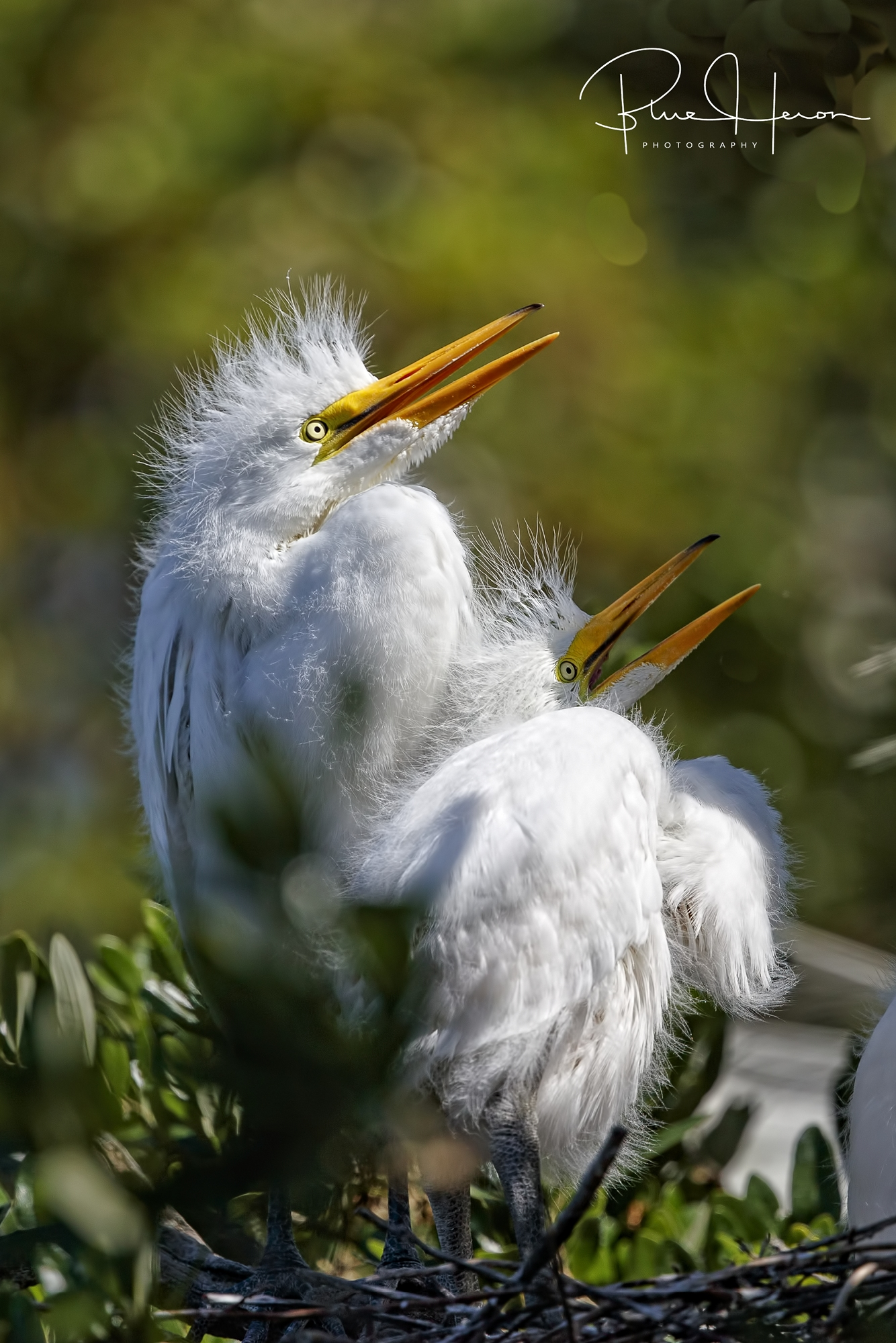What's for breakfast? We are hungry! Great Egret nestlings wait for food.