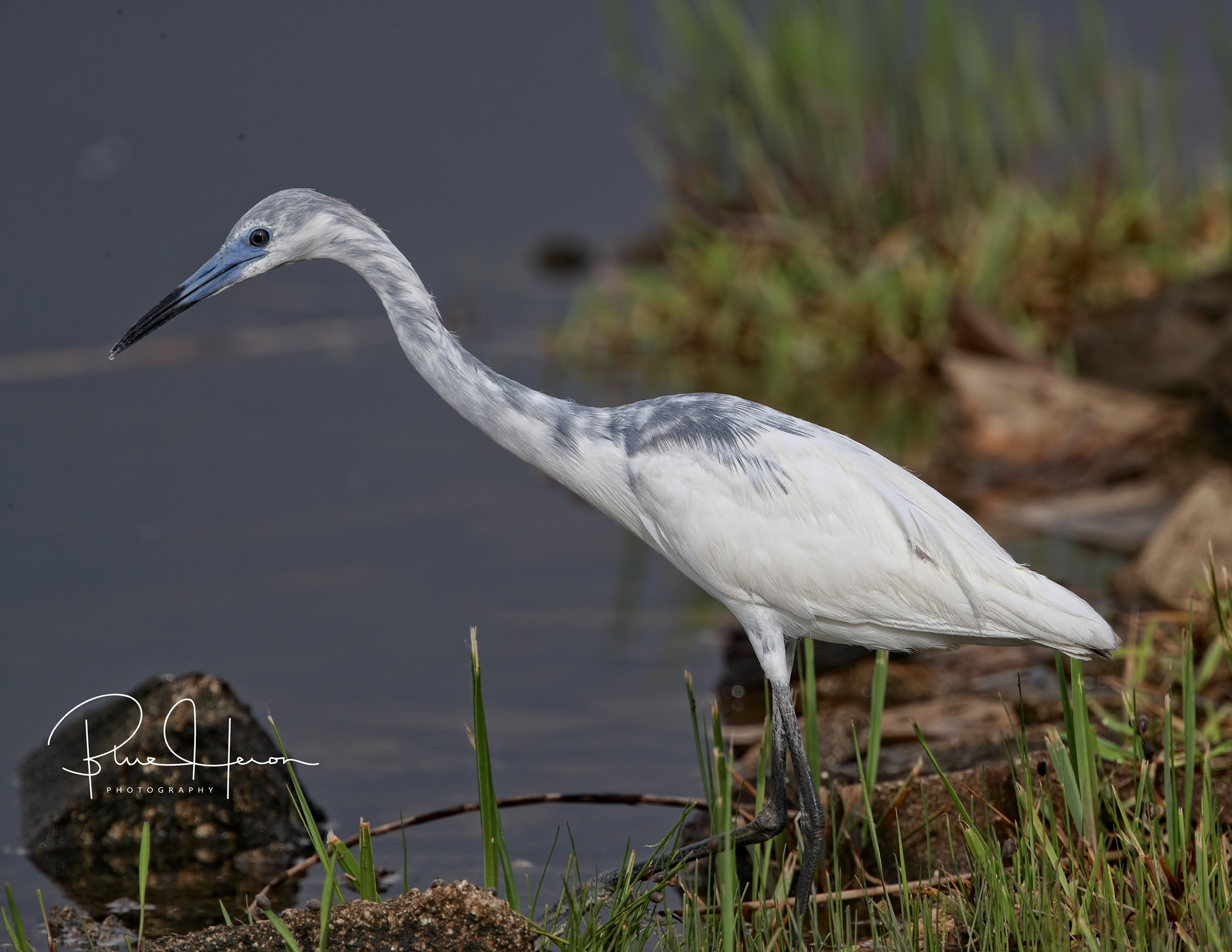 Bob Jr, the son of Broward Bob the Little Blue Heron was there to see us off too!