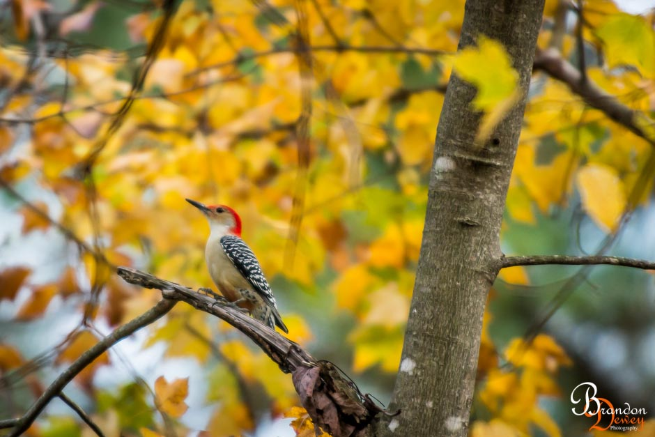 Red-Bellied Woodpecker. Goochland, VA