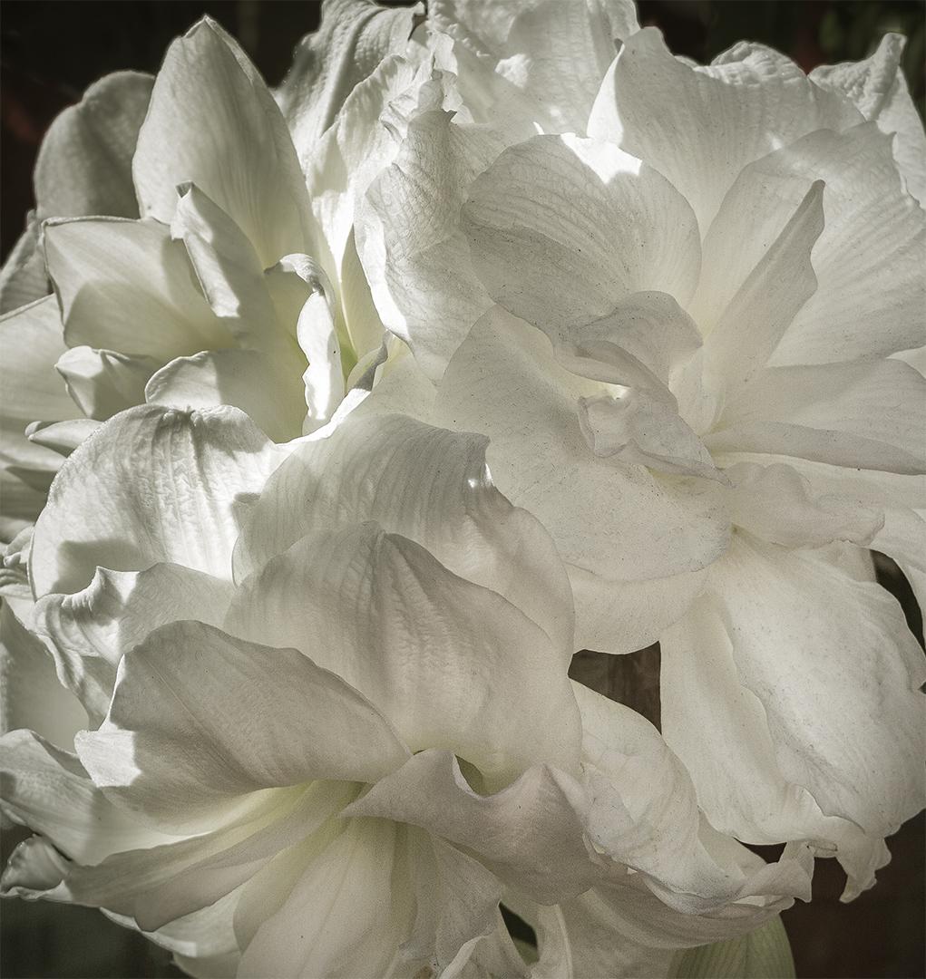 White Amarillis.jpg