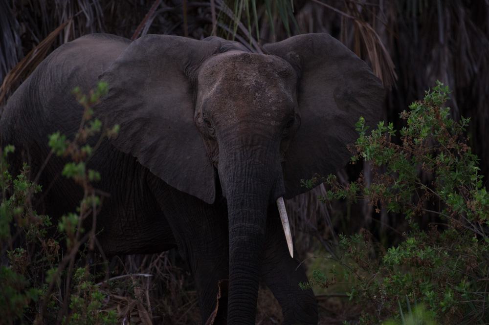 An elephant in the Selous game reserve