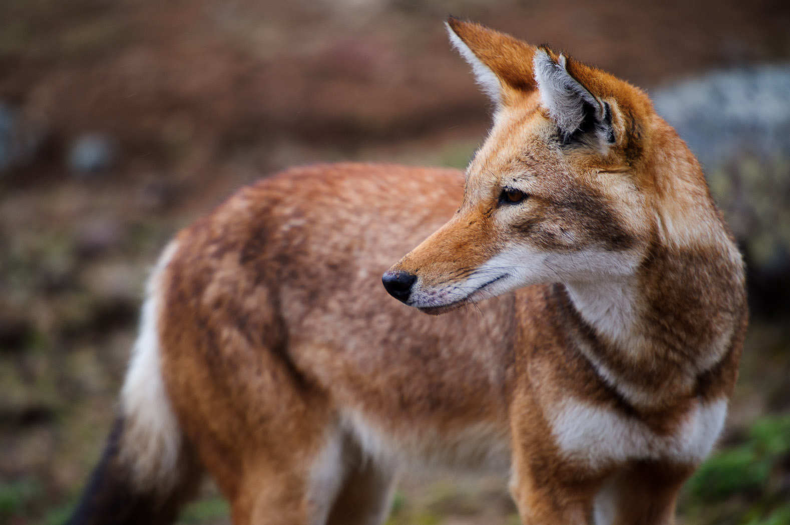 An Ethiopian Wolf stands on the highlands of the Sanetti Plateau in the Bale mountains of Ethiopia. Conservationists are trying to preserve their environment and protect them from diseases that have ravaged the population, such as rabies and canine distemper.