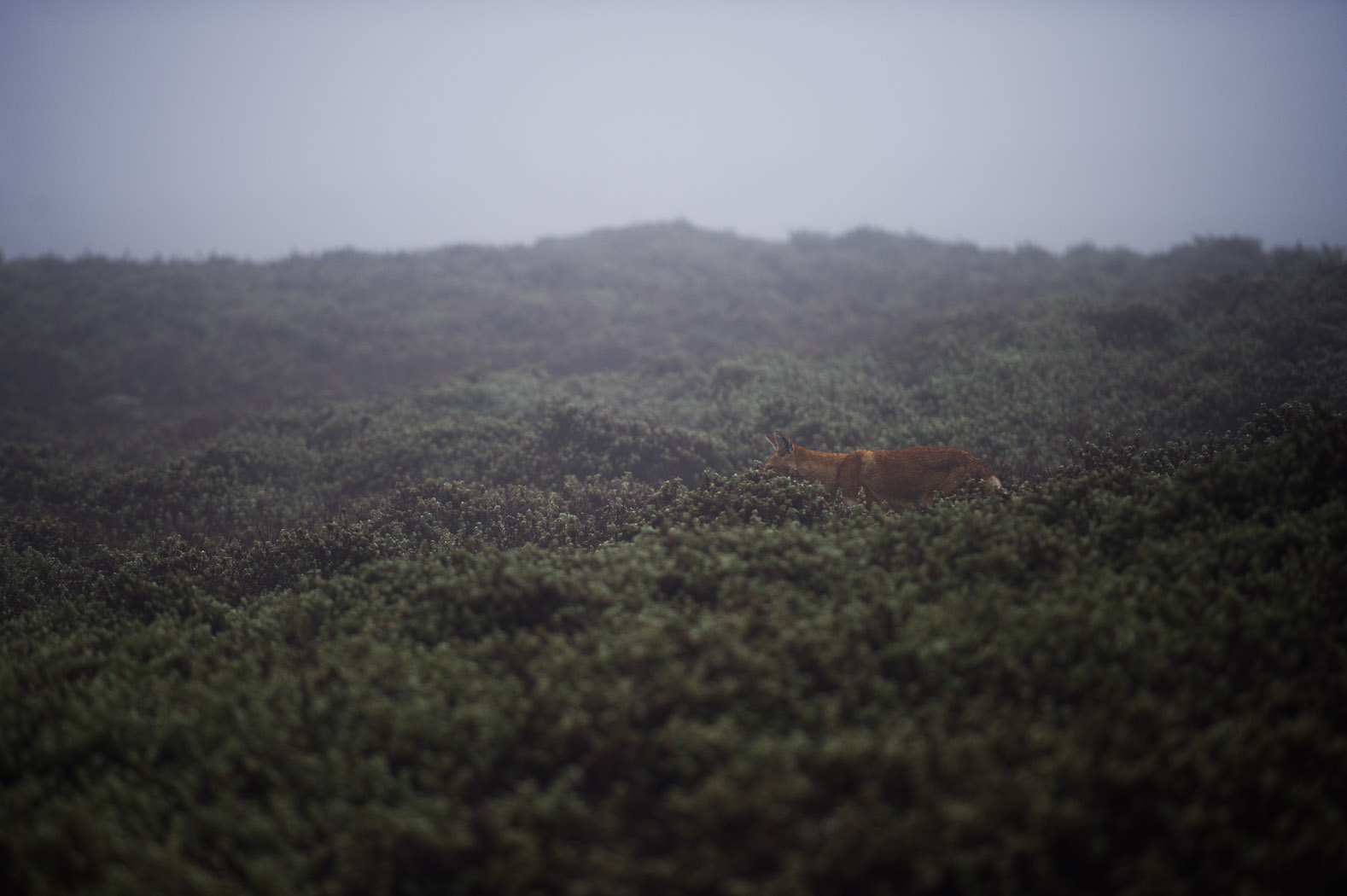 Around half of Ethiopia's wolves live in the Bale Mountains National Park, one of seven Afro-alpine habitats. The Ethiopian wolf lives only on mountains above 3000 metres and its survival is closely linked to the Afro-alpine ecosystems.