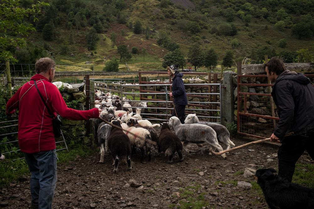 Sheep gathered down to Seathwaite Farm