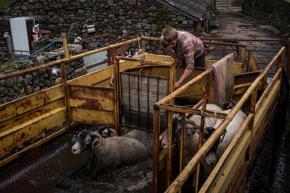 Dipping sheep