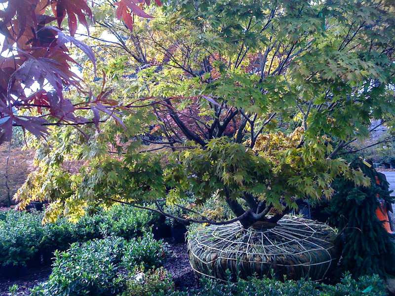 Japanese maple tree.