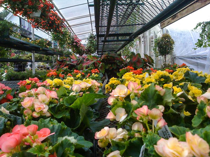 greenhouse begonias.jpg