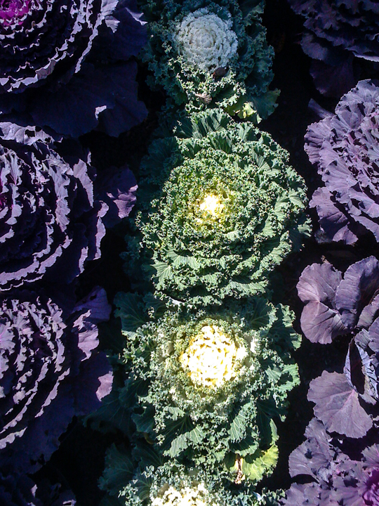 cabbage overhead cu.jpg