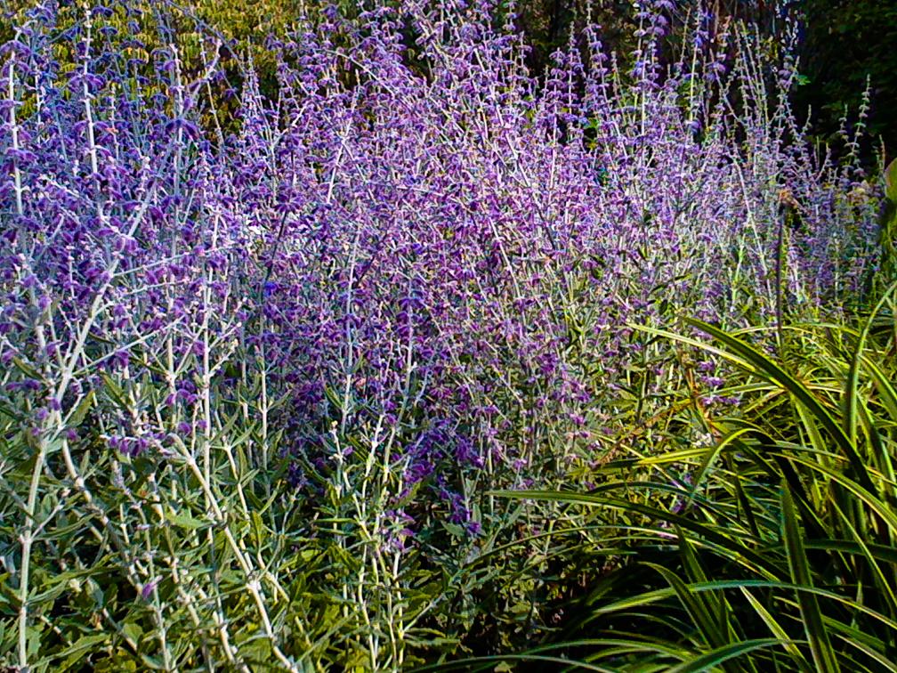 russian lavenderRvsdJan13.jpg