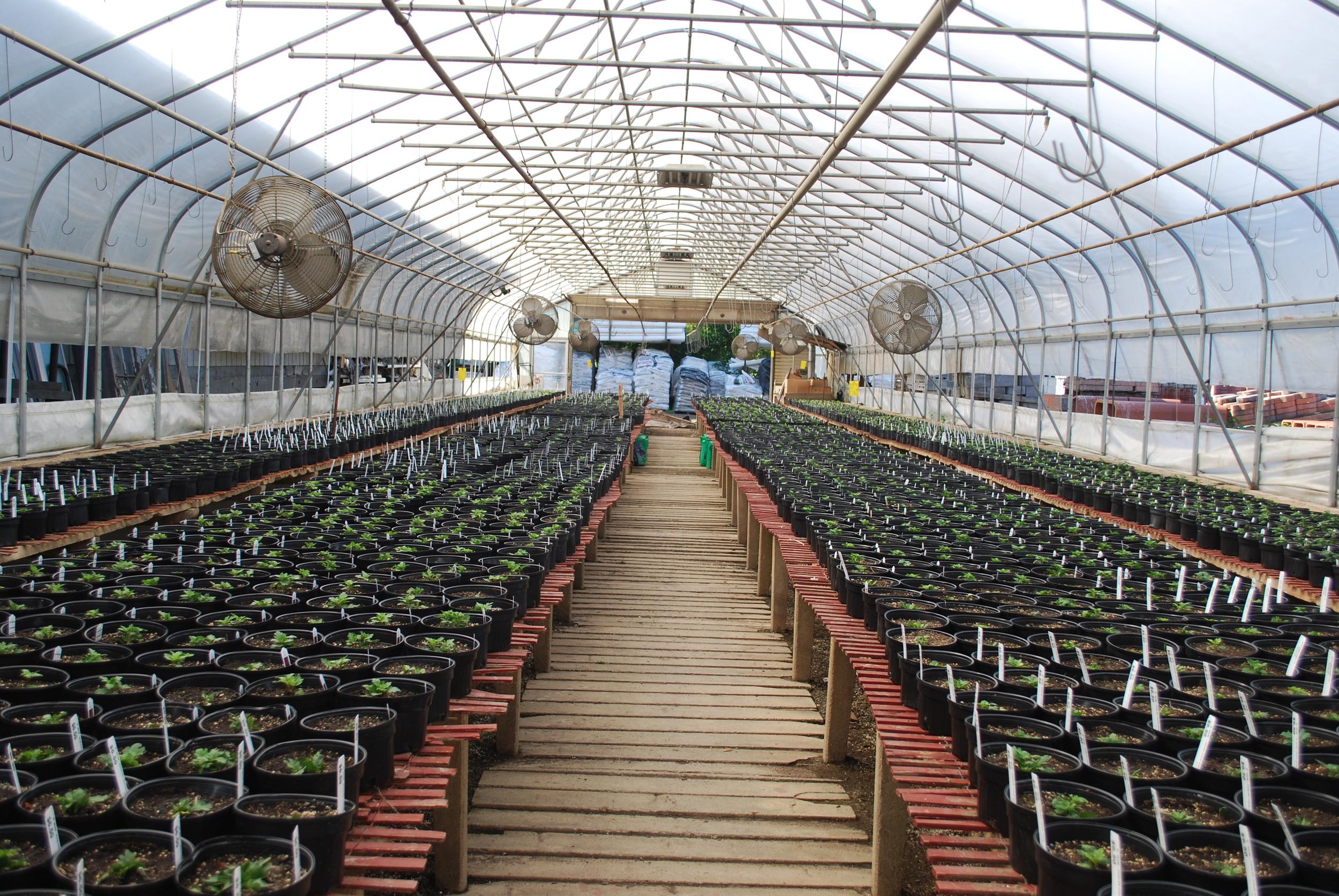 greenhouse cuttings.JPG