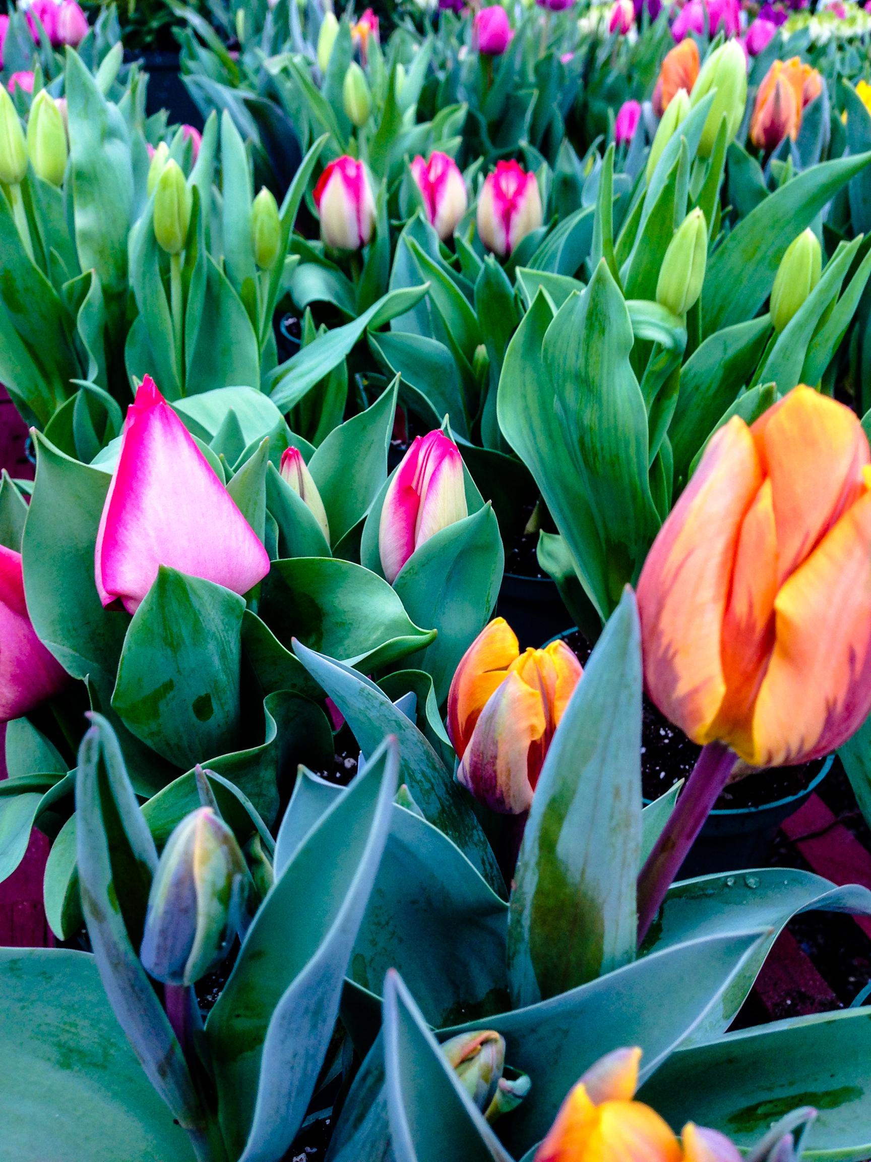 tulips 24 vert..jpg