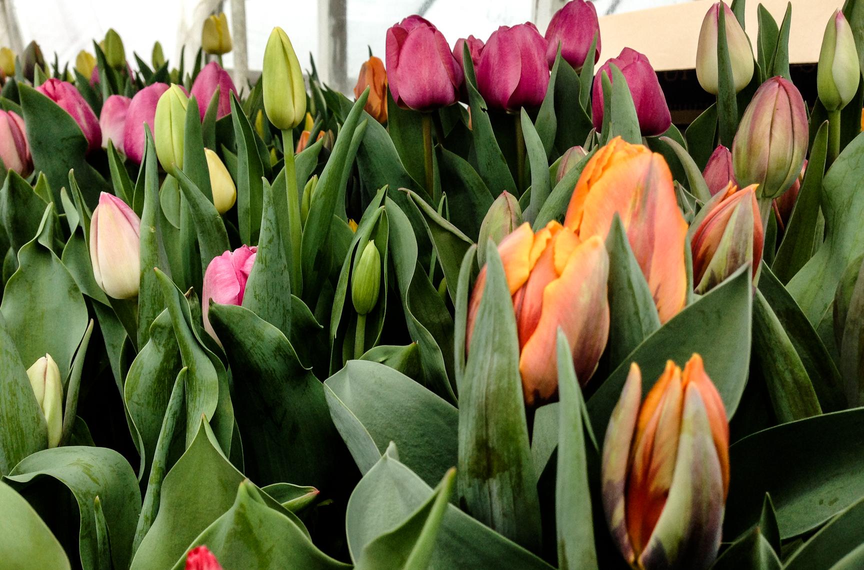 tulip hrz 2.jpg