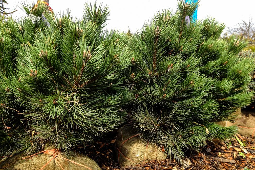 Pine Schrubs-1.jpg