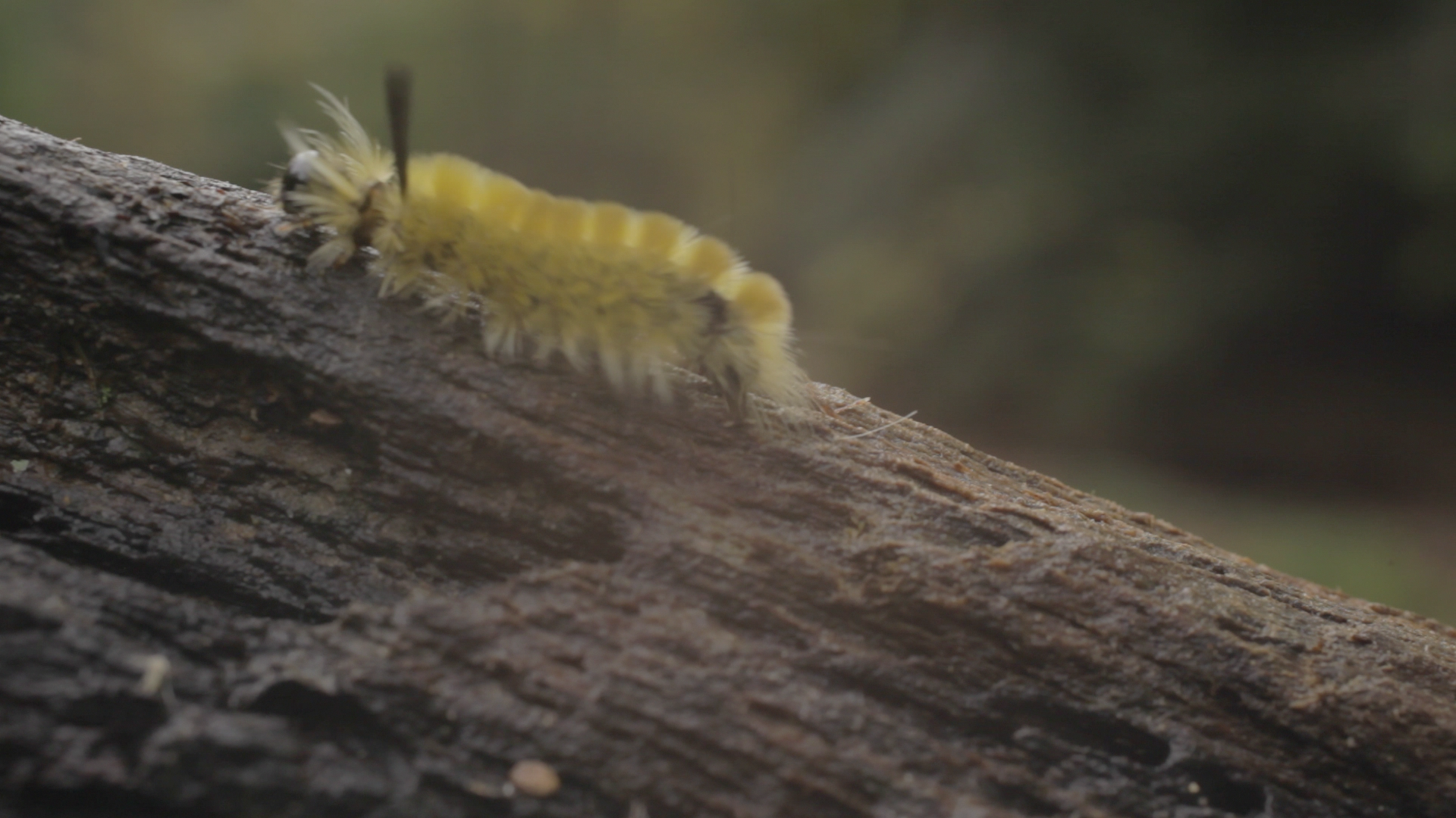 A wooly worm treks across a log during shooting in Muir Valley for the 'Muir Valley Project'. This is a screen grab of one of the many shots we got during our second weekend of production.