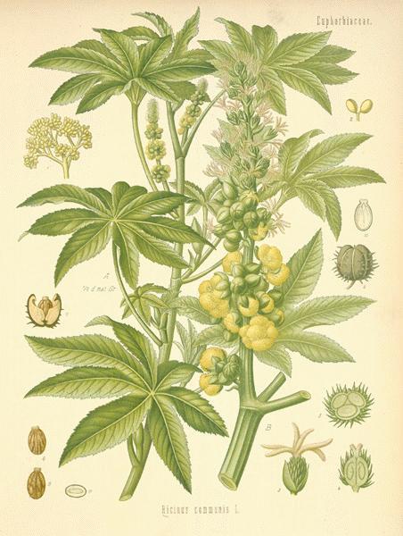 castor plant illustration.jpg