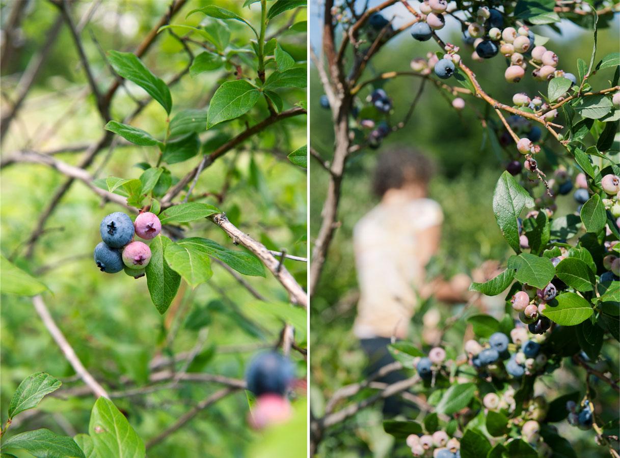 Blueberry 1.jpg