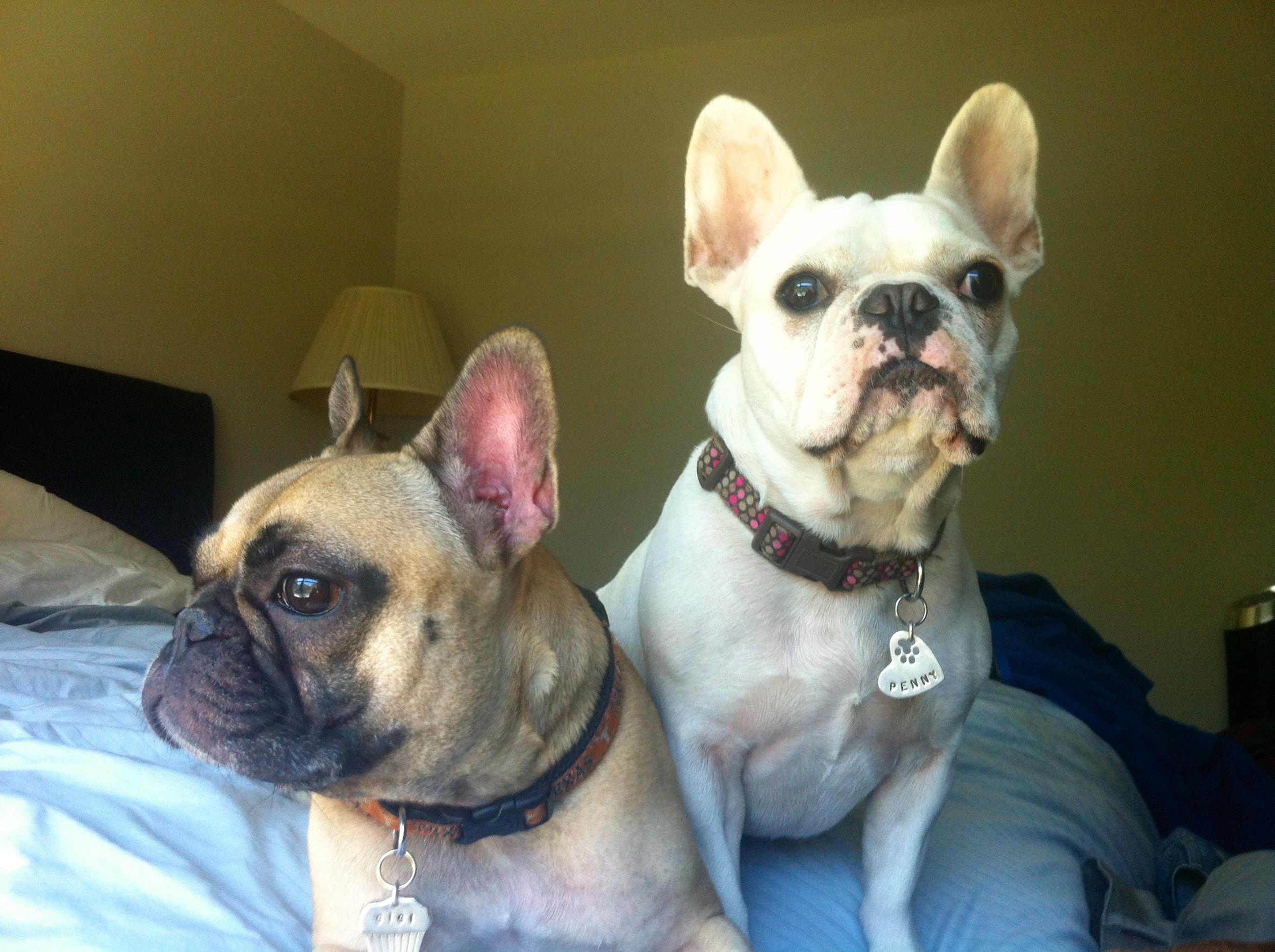 French Bulldogs Gigi & Penny