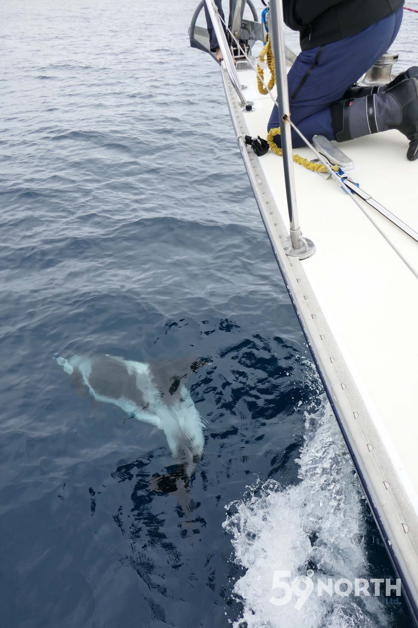 North Sea dolphins jumping alongside Isbjorn!  Leg 8, 2017: Sweden to Scotland 59-north.com